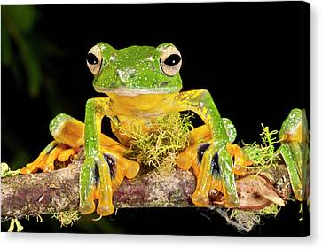 Anuran Canvas Print - Giant Gliding Treefrog, Polypedates Kio by David Northcott
