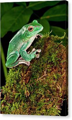 Anuran Canvas Print - Giant Gliding Treefrog, Polypedates Sp by David Northcott