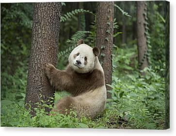 Giant Panda Brown Morph China Canvas Print