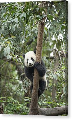 Giant Panda Cub Chengdu Sichuan China Canvas Print by Katherine Feng
