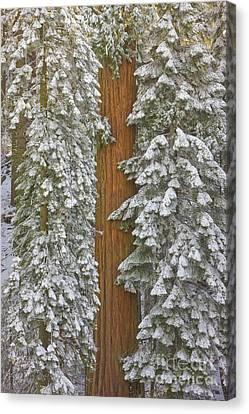 Giant Sequoia Canvas Print - Giant Sequoias And Snow  by Yva Momatiuk John Eastcott