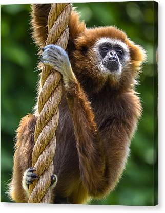 Gibbon Canvas Print