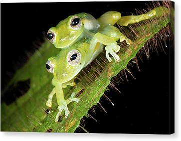 Glass-frogs Mating Canvas Print by Dr Morley Read