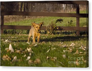 Golden Retriever Pup Canvas Print by Linda Freshwaters Arndt