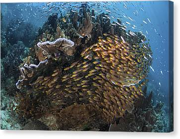 Golden Sweepers Swim Under A Coral Canvas Print