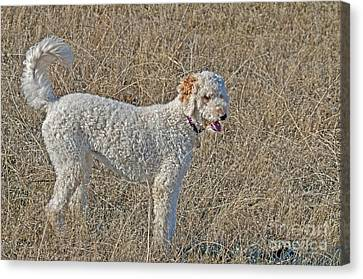 Goldendoodle Canvas Print by William H. Mullins