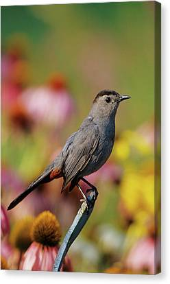 Gray Catbird (dumetella Carolinensis Canvas Print by Richard and Susan Day