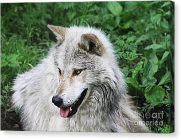 Gray Wolf Canvas Print by Alyce Taylor