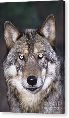 Gray Wolf Portrait Endangered Species Wildlife Rescue Canvas Print by Dave Welling