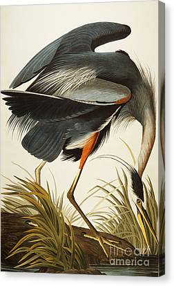 Great Blue Heron Canvas Print - Great Blue Heron by John James Audubon