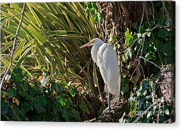 Canvas Print featuring the photograph Great Egret by Kate Brown