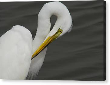 Great Egret Preening Canvas Print
