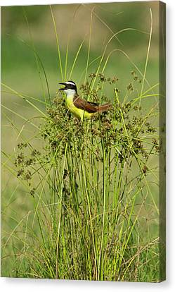 Great Kiskadee (pitangus Sulphuratus Canvas Print
