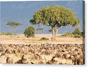 Gnu Canvas Print - Great Migration Of Wildebeests, Masai by Panoramic Images