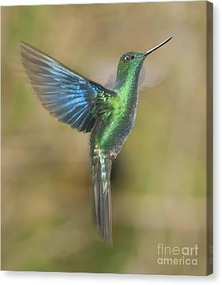 Canvas Print featuring the photograph Great Sapphirewing Hummingbird by Dan Suzio