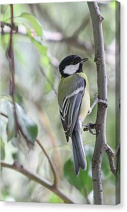 Canvas Print featuring the photograph Great Tit - Parus Major by Jivko Nakev