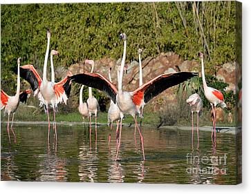 Greater Flamingos Canvas Print by George Atsametakis