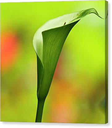 Green Calla Lily Canvas Print by Heiko Koehrer-Wagner