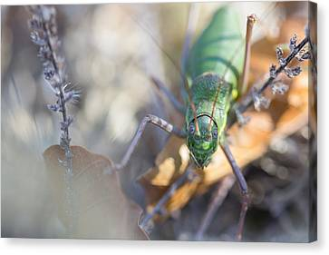 Green Grasshopper Ephippiger Canvas Print by Jivko Nakev