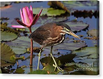 Green Heron Photo Canvas Print by Meg Rousher