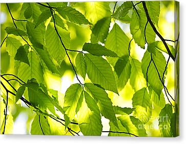 Green Spring Leaves Canvas Print