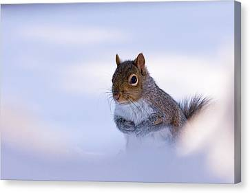 Grey Squirrel In Snow Canvas Print by Jeff Sinon