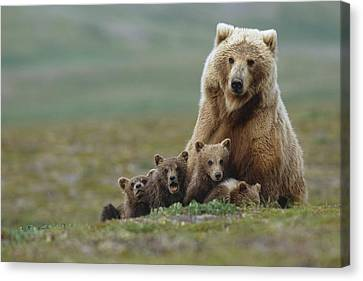 Grizzly Bear Sow W4 Young Cubs Near Canvas Print by Eberhard Brunner
