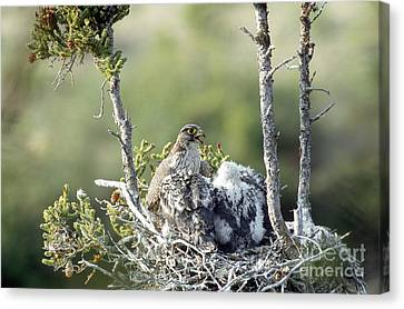 Gyrfalcons In Nest Canvas Print