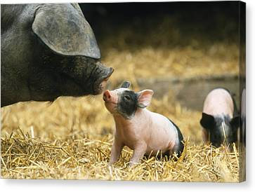 Haellisches Pig With Piglet Canvas Print by Duncan Usher