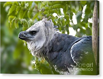 Harpy Eagle Canvas Print by Mark Newman