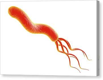 Helicobacter Pylori Canvas Print - Helicobacter Pylori Bacterium by Kateryna Kon