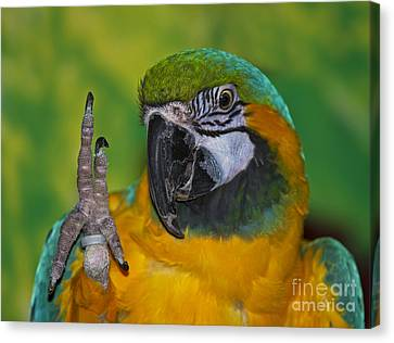 Blue And Gold Macaw Canvas Print - Hello... by Nina Stavlund
