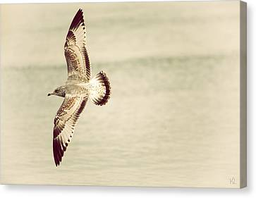 Flying Seagull Canvas Print - Herring Gull In Flight by Karol Livote
