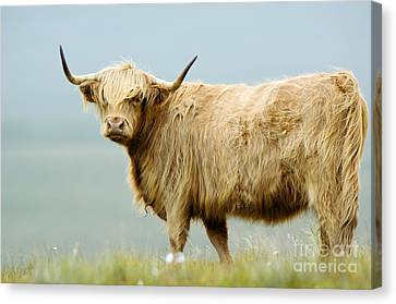 Highland Cow Canvas Print by Duncan Shaw