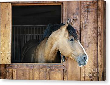 Bay Horse Canvas Print - Horse In Stable by Elena Elisseeva