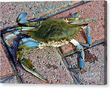 Canvas Print featuring the photograph Hudson River Crab by Lilliana Mendez