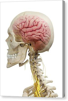 Human Brain And Nerves Canvas Print by Sciepro