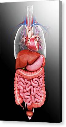 Computer Generated Canvas Print - Human Internal Organs by Pixologicstudio