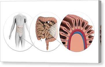 Human Intestines Canvas Print
