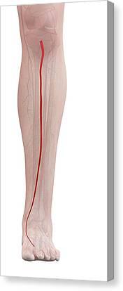 Human Leg Artery Canvas Print by Sciepro