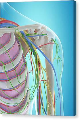 Normal Canvas Print - Human Shoulder Anatomy by Sciepro