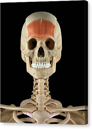 Human Skull Muscles Canvas Print by Sciepro