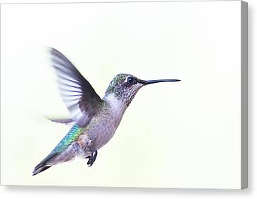 Hummer Canvas Print by Annette Hugen