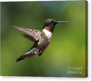 Hummer In Flight Canvas Print by Douglas Stucky