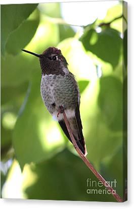 Hummingbird Hangout Canvas Print by Carol Groenen