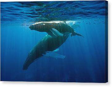 Humpback Whale And Calf Canvas Print by Andrew J. Martinez
