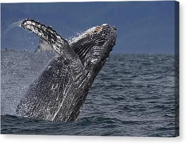 Humpback Whale Breaching Prince William Canvas Print by Hiroya Minakuchi