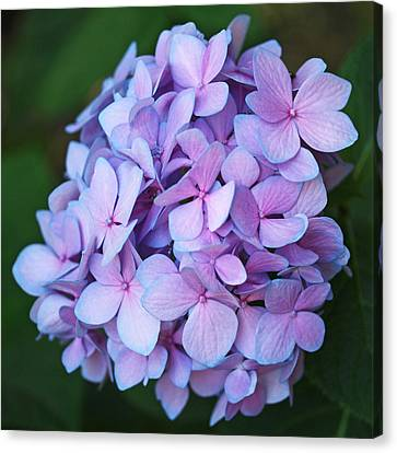 Hydrangea Canvas Print by Rona Black
