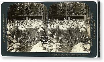 India Flamingos, C1907 Canvas Print by Granger