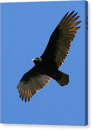 Vulture Canvas Print - Into The Blue  by Neal Eslinger